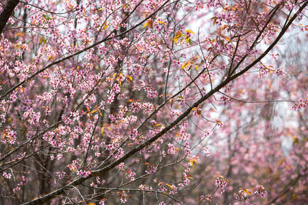 prunus: little flowers in stong color tone. Name of flowers is Wild Himalayan Cherry Prunus Cerasoides.