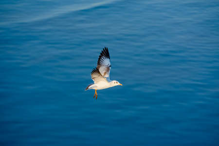 migrate: Seagull fly under sunlight.