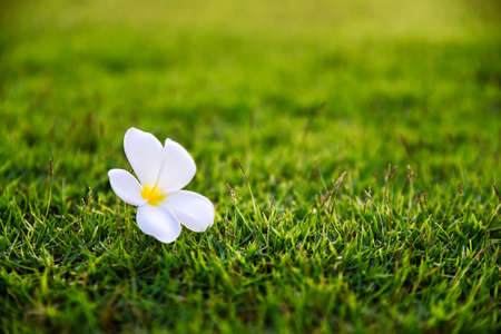 The one flower known as Plantae or Temple Tree that come off drop to the floor of grass.