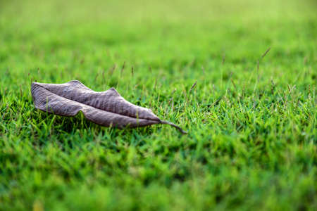 drop off: The one crisp leaf come off drop to the floor of green grass.
