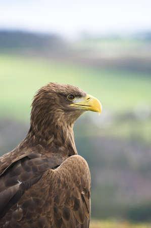 white tailed: A white tailed sea eagle Stock Photo