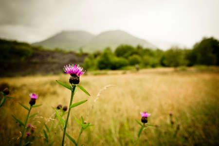 scottish: Wild scottish thistle on a stormy day Stock Photo