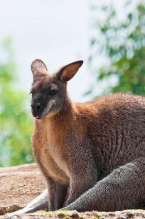 biped: Australian Wallaby