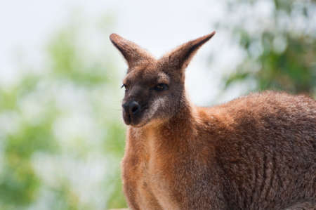 biped: Australian wild wallaby Stock Photo