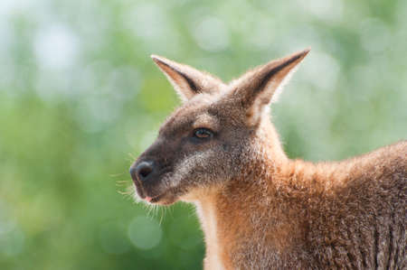 wallaby: Nervous Australian wallaby