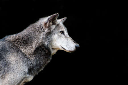 timber wolf: Hunting wolf