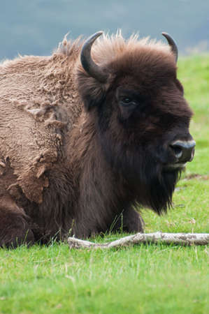 american bison: Head shot of a wild American Bison