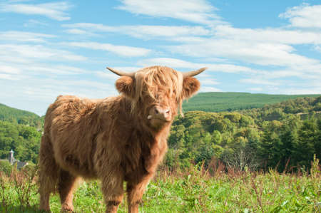 highland: Highland cow stood in a green meadow with a bright blue background