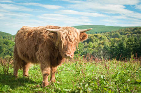 Highland cow looking directly at the camera