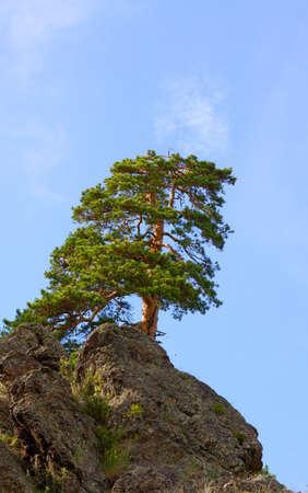 pinetree: pine-tree on a rock Stock Photo
