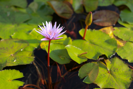 Pink lotus flower blooming in the pool photo