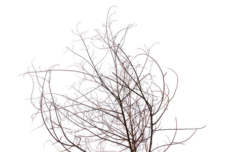 insolate dried treed in white background photo