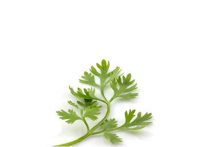 fresh bunch of coriander or cilantro photo