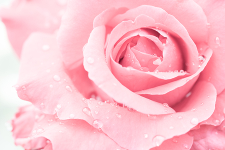 macro of rose with water drops photo