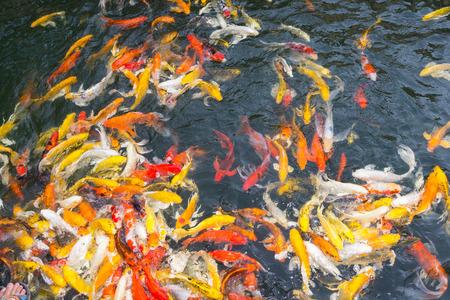 Koi fish swimming aggressively at pond photo