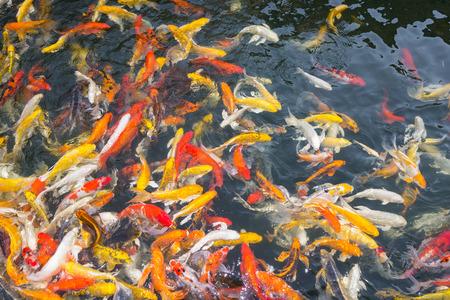 aggressively: Koi pesce nuotare in modo aggressivo a stagno