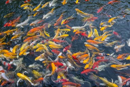 aggressively: Koi fish swimming aggressively at pond