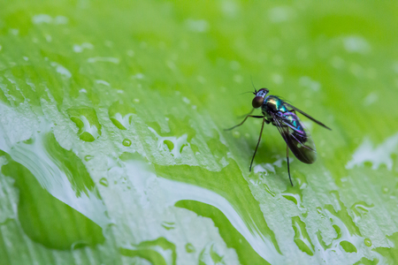 Drosophila perched on a green leaf with water drops. photo