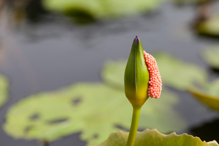 Violet Lotus with egg shells stick in the morning photo
