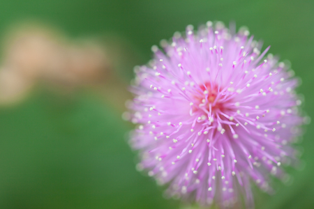 globular: mimosa flowers in the morning Stock Photo