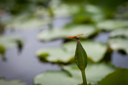 Lotus flower and dragonfly in morning time photo