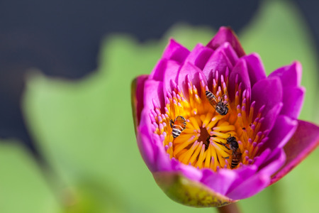 Lotus flower and bee in the park on morning time photo