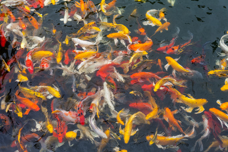 goodluck: Koi in the  pond in the morning. Stock Photo