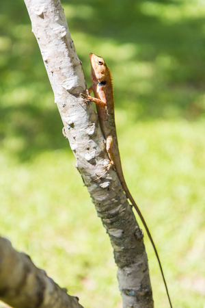 brown Lizard, asian lizard or tree lizard on the tree photo