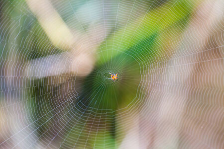 dewdrops: Spider on the web in the forest