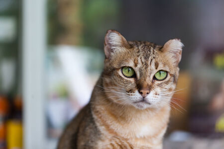 Bengal cat in light brown and cream looking with pleading photo
