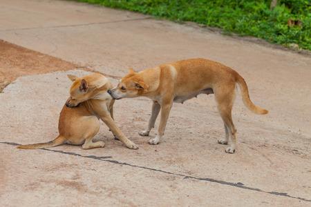 fleas: Dog are checking for fleas and ticks, Thailand Stock Photo