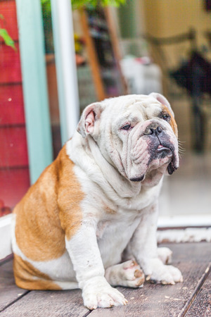 old english bulldog sitting the front of the door photo