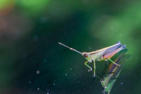 Grasshopper perching on a mirror, nature photo