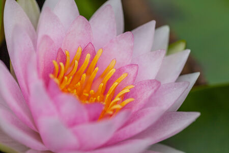 PInk Lotus Flower, Thailand photo