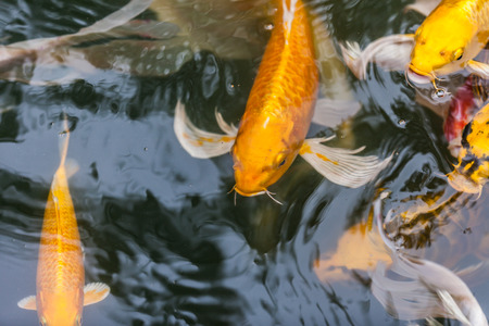 beautiful koi fish swimming in the pond photo