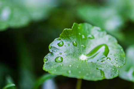 Raining on green lotus leaf with water drop as background photo