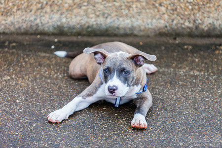 Cute Pit Bull dog laying in the park photo