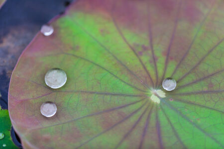 Green Lotus leaf with water drop as background photo
