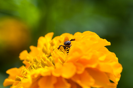 Marigold in the garden ,nature photo