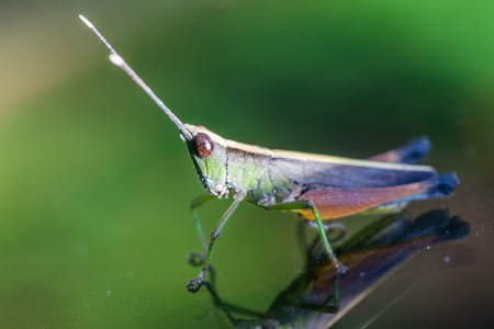 Grasshopper perching on a mirror, nature photo