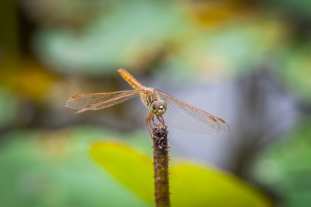 Macro of dragonfly resting on a twig in the morning photo
