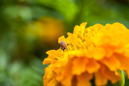garden marigold: Marigold in the garden ,nature Stock Photo