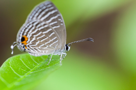 silver perch: A grey spotted butterfly perches on a green leaf, Thailand