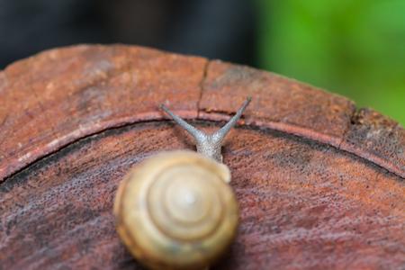 Snail crawling on pine-tree stump,Thailand photo