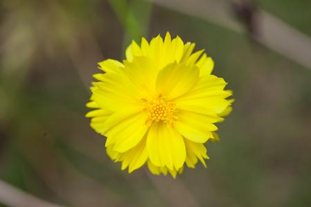 Yellow Dahlia Flower with Yellow Center photo