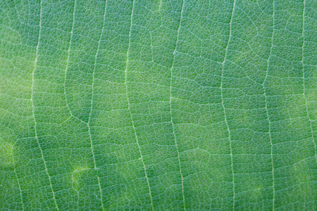 leaf texture: Green leaf texture ,Nature Stock Photo