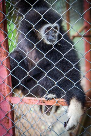 Sad black gibbon in a cage, Nature
