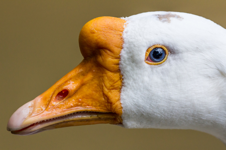 arched neck: White goose head close up Stock Photo