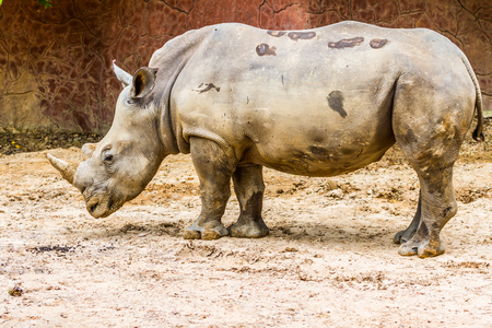 side view of the large white rhino in the zoo photo