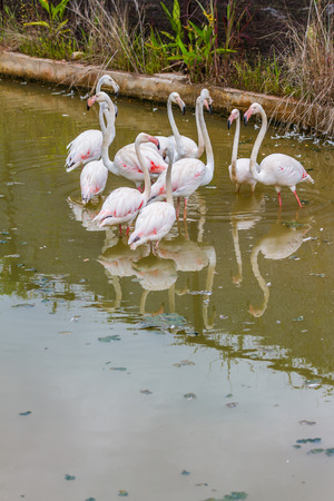 Group of pink caribbean flamingo photo